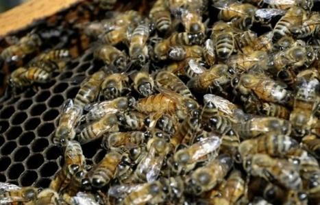 Les humains responsables d'une maladie qui décime les abeilles | Biodiversité | Scoop.it