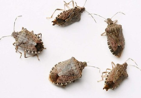 Stinkbugs' new appetite for crops spurs $5.7M study | Food issues | Scoop.it