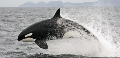 Quand la survie des orques dépend du saumon | Zones humides - Ramsar - Océans | Scoop.it