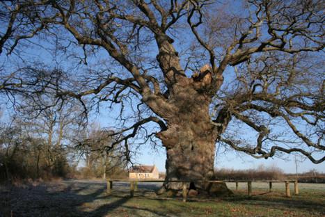 Arbre de l'année: le chêne de la Lambonnière sélectionné | Le Mag ornais.fr | Scoop.it