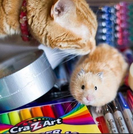 Le chat et son (futur) meilleur ami le hamster : un duo si harmonieux ! | CaniCatNews-actualité | Scoop.it