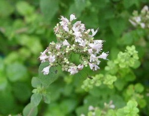 Mejorana (Origanum majorana).   ECOLOGIA Y SALUD: Plantas aromáticas y medicinales.   Scoop.it