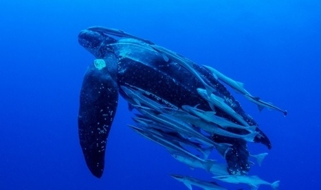 Giant #LeatherbackTurtle -- Black Sea Turtle Facts And Photos ~ PlanetSave | Rescue our Ocean's & it's species from Man's Pollution! | Scoop.it