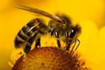 Humans must change behaviour to save bees (and ourselves). Pollinators vital for food production – UN report | YOUR FOOD, YOUR HEALTH: Latest on BiotechFood, GMOs, Pesticides, Chemicals, CAFOs, Industrial Food | Scoop.it