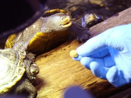 Water toxins blamed for hundreds of turtle deaths | Sustain Our Earth | Scoop.it