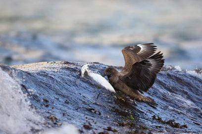 grand labbe noyant une aigrette garzette (série de photos) | Arctique et Antarctique | Scoop.it