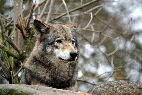 Camera traps to capture wolves in The Netherlands - NL Times | Diekstra Nieuws | Scoop.it