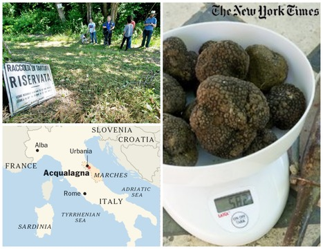 Searching for Truffles, a Treasure That Comes in Black | The New York Times | Le Marche another Italy | Scoop.it