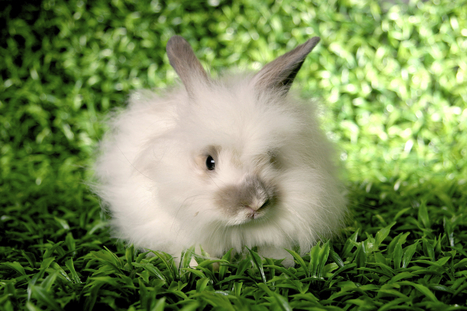 Hoppy Holidays for Rabbits! More Than a Dozen Retailers Ban Angora Wool | Help save our Rhino | Scoop.it