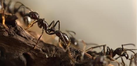 Pourquoi n'y a-t-il jamais d'embouteillage chez les fourmis ? | EntomoNews | Scoop.it