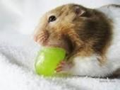 Quels aliments sont toxiques pour les rongeurs ? - Blog | PETS & ANIMAUX | Scoop.it