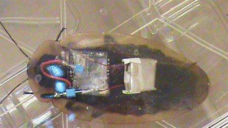 Des coquerelles (ou blattes) alliées en zones contaminées | EntomoNews | Scoop.it
