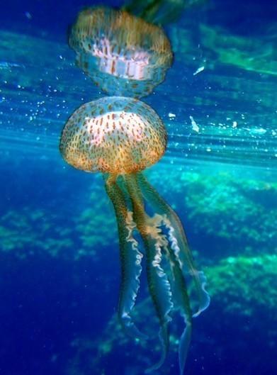 Prolifération anormale de méduses dans les eaux du monde entier   Découvertes et voyages   Scoop.it