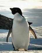 Penguins: Charming, Comical... And Cold-Blooded Killers | Strange days indeed... | Scoop.it