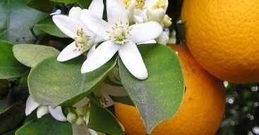 Awakenings: Shout-outs for the Orange Blossom | Awakenings: America & Beyond | Scoop.it