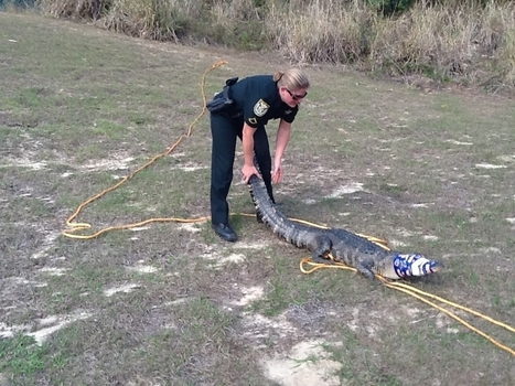 Florida deputy wrestles alligator outside middle school (VIDEO) | The Billy Pulpit | Scoop.it