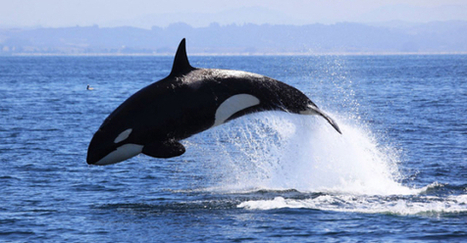 News just in -- no wild orcas will be exhibited at the Olympics in Sochi. | Nature Animals humankind | Scoop.it