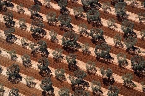 Des mouches OGM pour sauver les olives | EntomoNews | Scoop.it