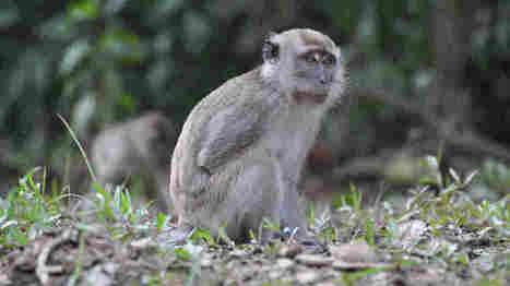 You Don't Want To Monkey Around With Monkey Malaria - NPR (blog) | Against malaria - on the way to eradication | Scoop.it