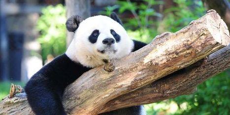 Pourquoi le panda géant n'est plus une espèce «en danger» | Biodiversité & Relations Homme - Nature - Environnement : Un Scoop.it du Muséum de Toulouse | Scoop.it