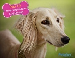 Top 10 Most Expensive Dog Breeds | Petplan Blog | Pet Insurance | Scoop.it