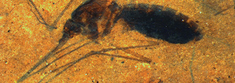 Bloody Mosquito Pierces Standard Fossil Dating Procedure | FaithPatriot | Scoop.it