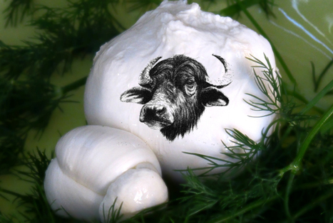 Buffalo Milk Mozzarella in Le Marche: Caseificio il Faro | Le Marche and Food | Scoop.it
