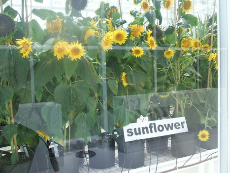 Syngenta Greenhouse: Think Cool Wear Shades | North Carolina Agriculture | Scoop.it