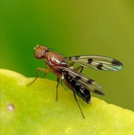 Bretagne : Nombreuses attaques de géomyza sur triticale | Autres Vérités | Scoop.it