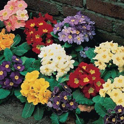 Mixed Hardy Primrose | Springhill Nursery Gardening | Scoop.it