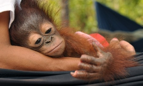 Orangutan looks at finger stumps cut off in forest clearances. | Apex Evolution Archives | Scoop.it
