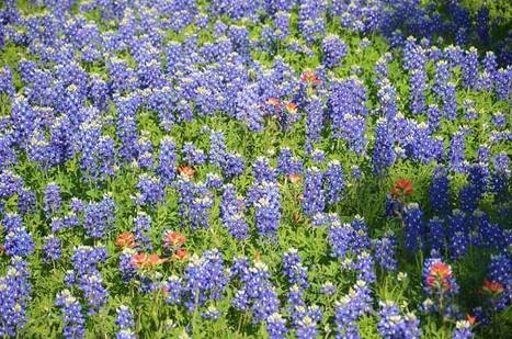 Springtime Bluebonnets in the Texas Hill Country | Art & Design Matters | Scoop.it