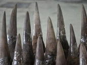 Vietnam latest news - Thanh Nien Daily | Vietnam seizes most illegal rhino horns worldwide: official | Illegal Wildife Trade | Scoop.it