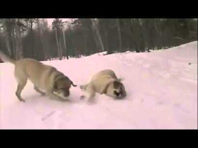 Two Dogs Spazzing Out Over Their First Snow Encounter (Funny) | MyFunLife | Scoop.it