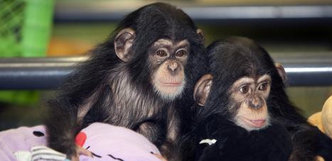 Les singes sont aussi bons managers que nous ! | MOTIVATION ET ENGAGEMENT (RH et SIRH) | Scoop.it