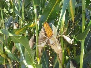 Acheter du maïs sur pied à l'automne 2015 pour sécuriser ses stocks fourragers - Chambre régionale d'agriculture des Pays de la Loire | Agriculture en Pays de la Loire | Scoop.it