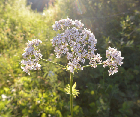 Focus sur : La Valériane | Les Espaces Conseils - Arkopharma | Jardin médicinal | Scoop.it