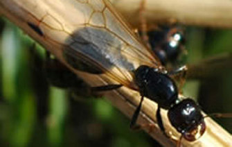 El nucú, la hormiga que vale oro - Plano informativo | Servicios en Restauración | Scoop.it