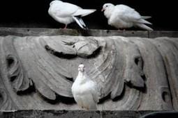 Buscan revertir extinción de la paloma de Socorro | Bichos en Clase | Scoop.it