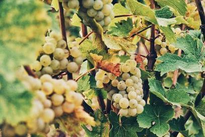 Une journée dans les vignes | Gastronomy & Wines | Scoop.it