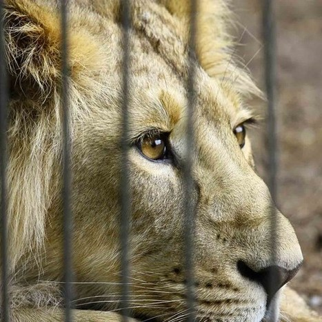 Avaaz counters accusations of clicktivism and takes on the lion bone trade (Wired UK) | Wildlife Trafficking | Scoop.it