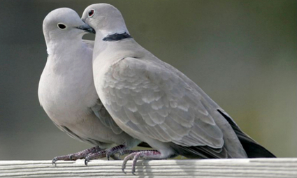 Pesticides to Blame for UK's Declining Turtle Dove Population | EcoWatch | EcoWatch | Scoop.it