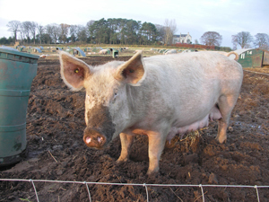 Pigs eat 70-year-old Oregon farmer | Wait... What? | Scoop.it