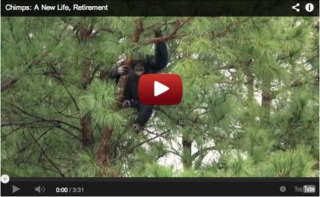 Lab chimps experience life outside the cage for the first time... | Art for art's sake... | Scoop.it