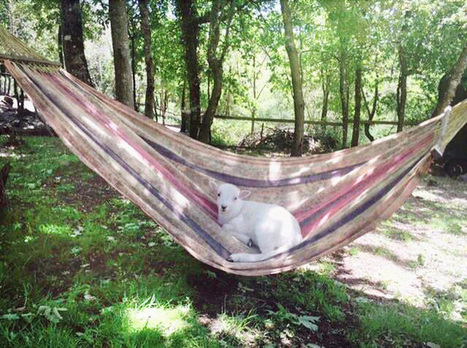 Meet the Lamb That Likes Hanging Out in Hammocks | fitness, health,news&music | Scoop.it