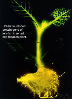 Biotechnology-wiki-thing-of-awesomeness - Transgenic Plants | Transgenics | Scoop.it