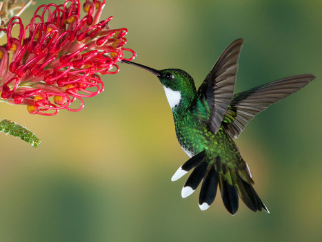 The awesome strength of a hummingbird | Michael Steinberger Latin Tour Dimensions | Scoop.it