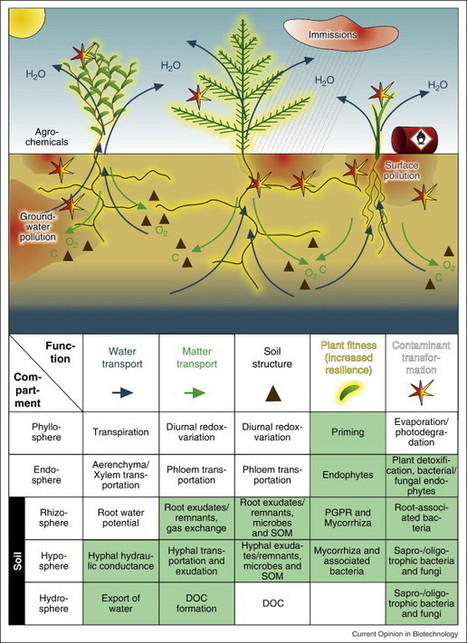 Plant–microbe interactions as drivers of ecosystem functions relevant for the biodegradation of organic contaminants | Plant microbe interactions | Scoop.it
