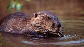 'Urgent' call for Scots beavers to be recognised as native species - BBC News | My Scotland | Scoop.it
