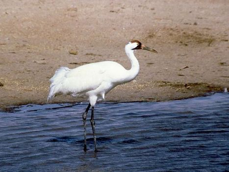 Struggling whooping crane population loses three to gunfire | MCT National News | McClatchy DC | Upsetment | Scoop.it